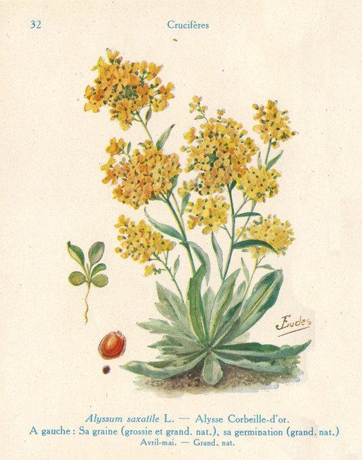 Alysse corbeille d'or de jardin