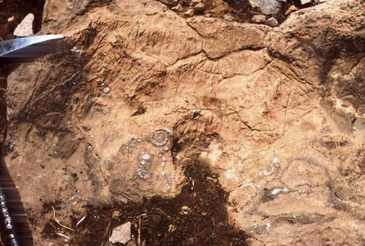Ammonites au Maroc