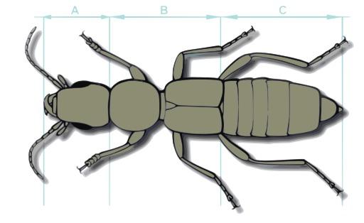 Anatomie d'un coléoptère