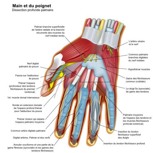 Anatomie de la main