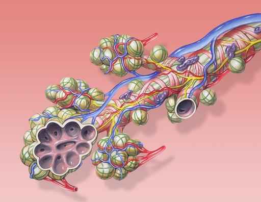 Anatomie des bronches et de la circulation pulmonaire