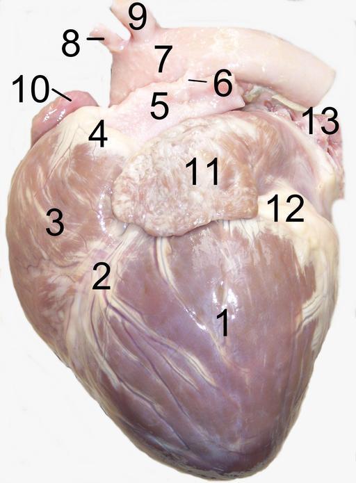 Anatomie du coeur de chien