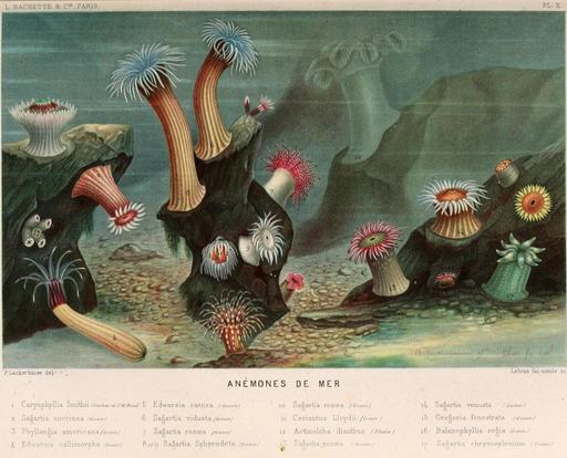 Anémones de mer en 1866