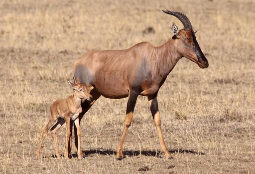 Antilope topi au Kenya