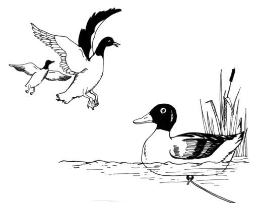 Appeau de canard