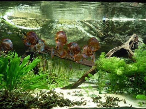 Aquarium tropical d'eau douce