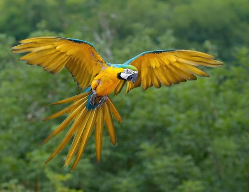Ara bleu en vol