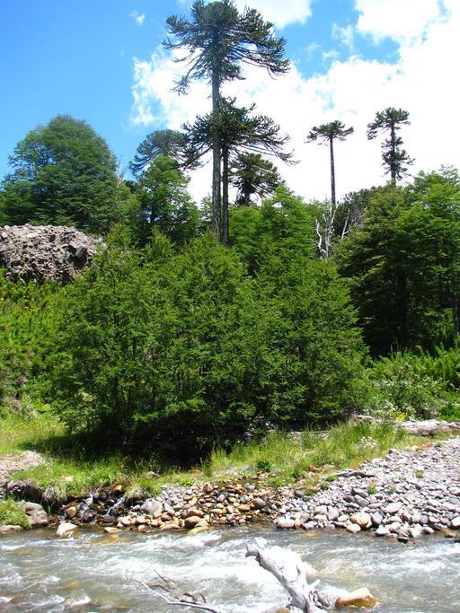 Araucaria du Chili et faux hêtre austral