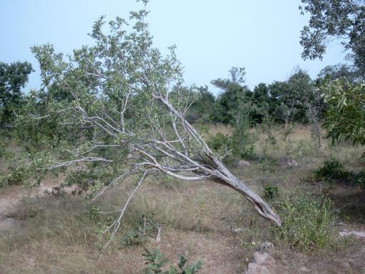 Arbuste de Securidaca longepedunculata
