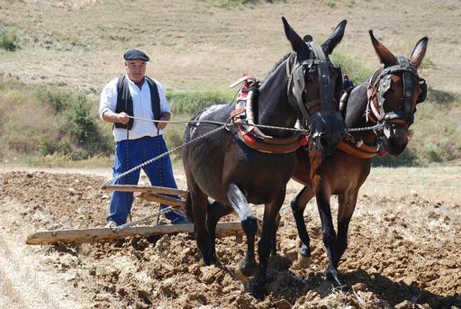 Attelage de mules