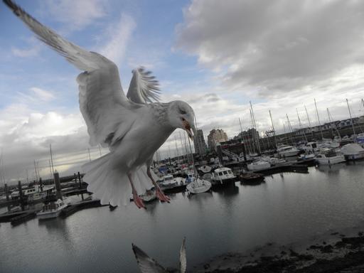 Atterrissage de goéland argenté