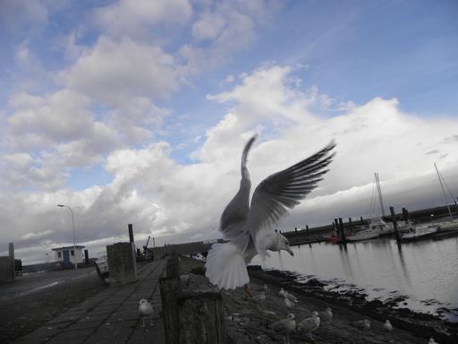 Atterrissage de goéland argenté sur le quai d'un port