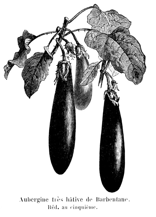 Aubergine très hâtive de Barbentane
