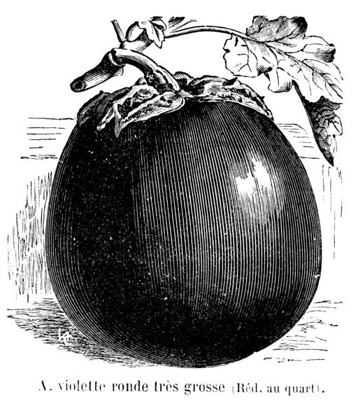 Aubergine violette ronde très grosse