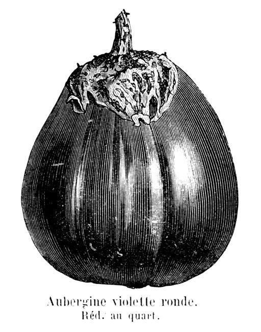 Aubergine violette ronde Vilmorin-Andrieux