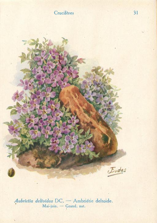 Aubriettes de jardin