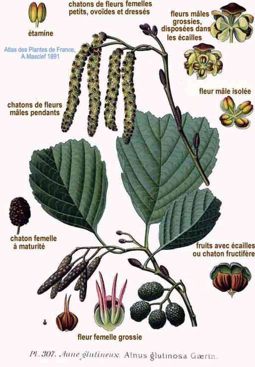 Aulne glutineux ou verne