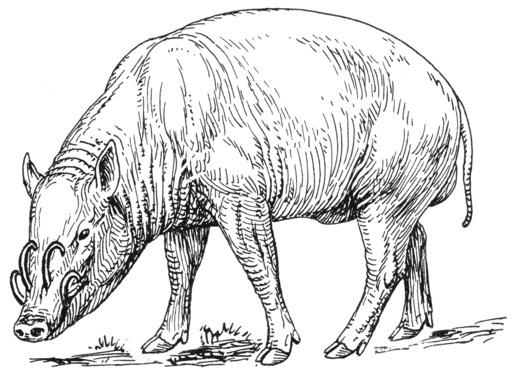 Babiroussa mâle d'Indonésie