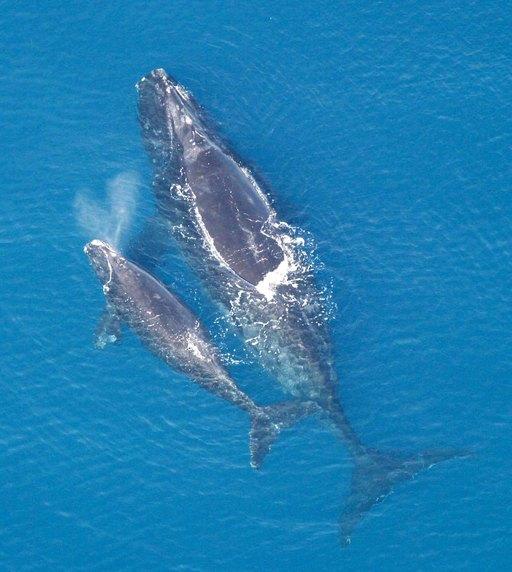 Baleine et son petit