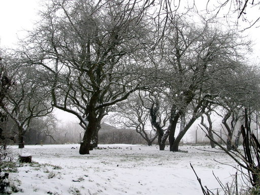 Bande de grives litornes en hiver