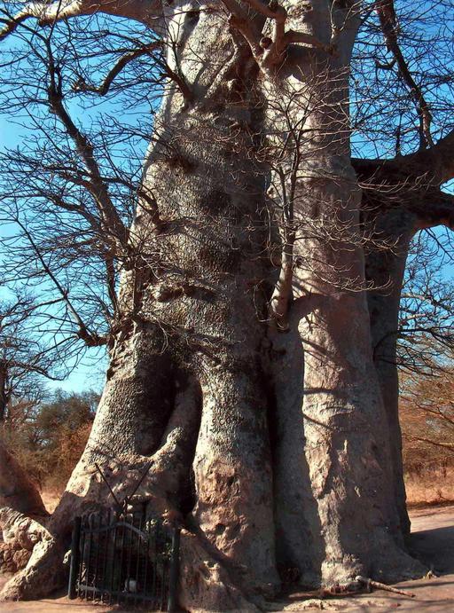 Baobab sacré et sépultures de Griots