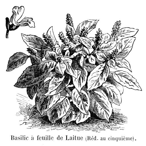Basilic à feuille de laitue