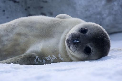 Bébé Phoque de Weddell