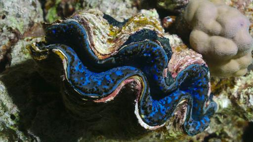 Bénitier géant ou Tridacna maxima