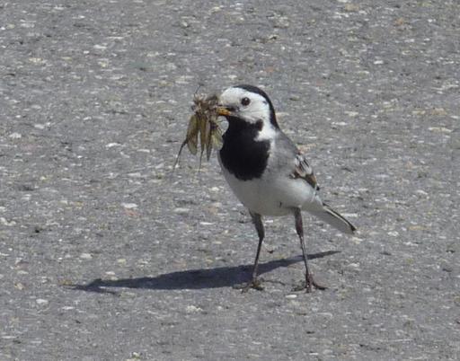 Bergeronnette grise tenant plusieurs insectes dans son bec