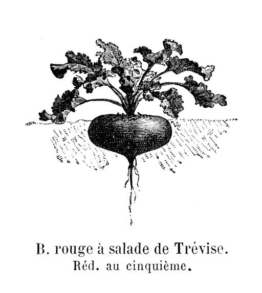 Betterave rouge à salade de Trévise