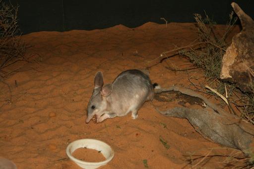 Bilby de Pâques en Australie
