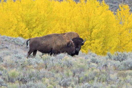 Bisons américains dans le Yellowstone