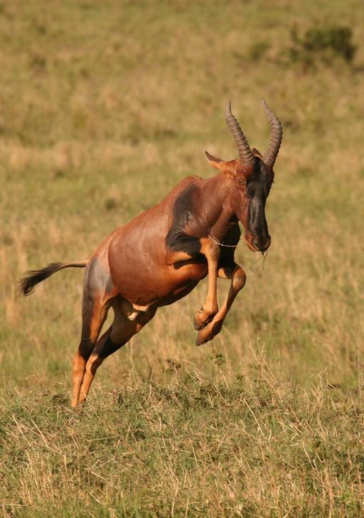 Bond d'une antilope Topi