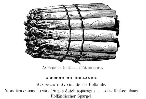 Botte d'asperges de Hollande