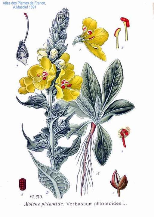 Bouillon-blanc, ou Molène faux-phlomis