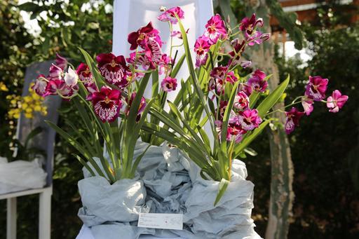 Bouquet d'orchidées miltoniopsis