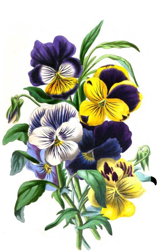 Bouquet de pensées en 1836