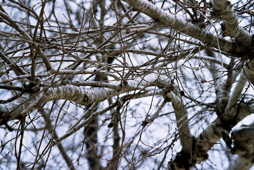 Branches blanches