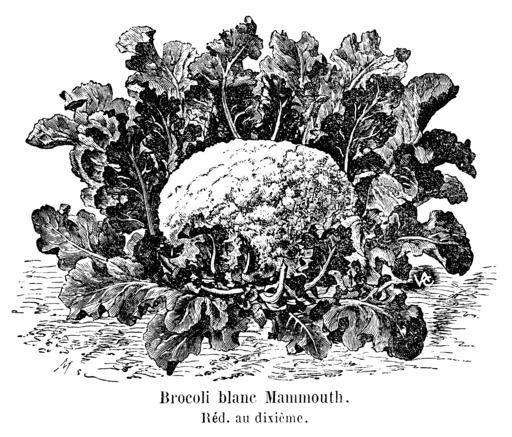 Brocoli blanc Mammouth