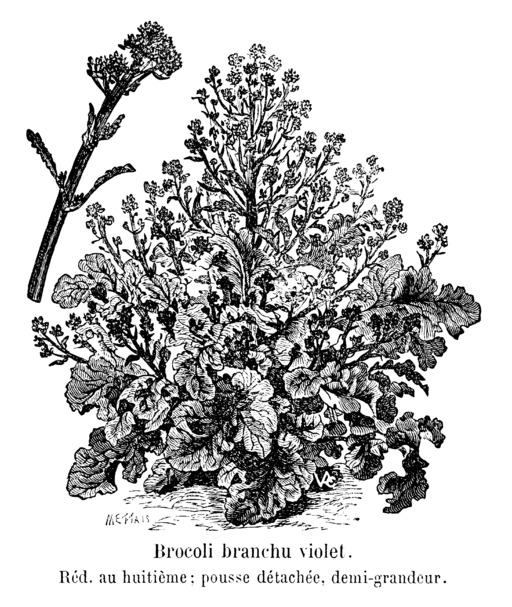 Brocoli branchu violet