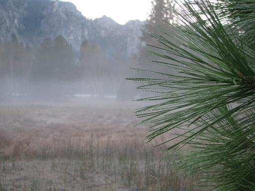 Brouillard et rosée du matin sur aiguilles de pin