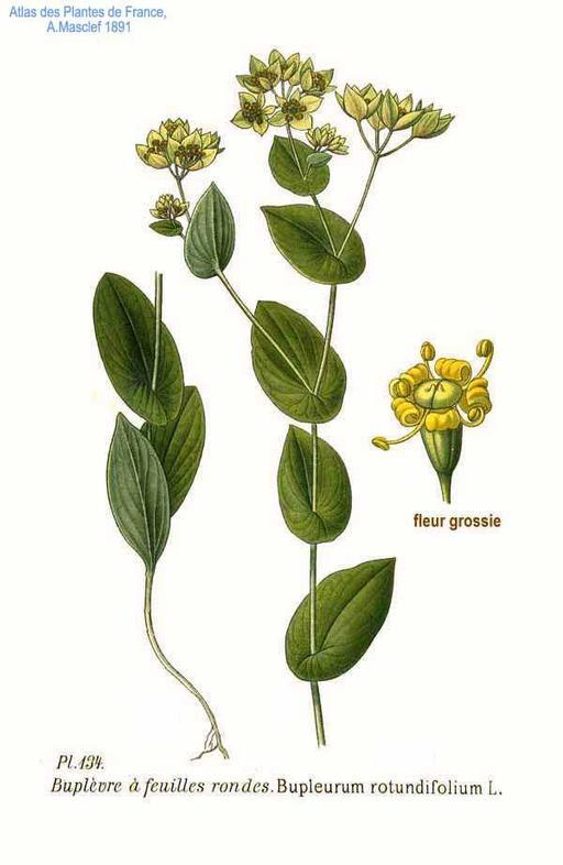 Buplèvre à feuilles rondes