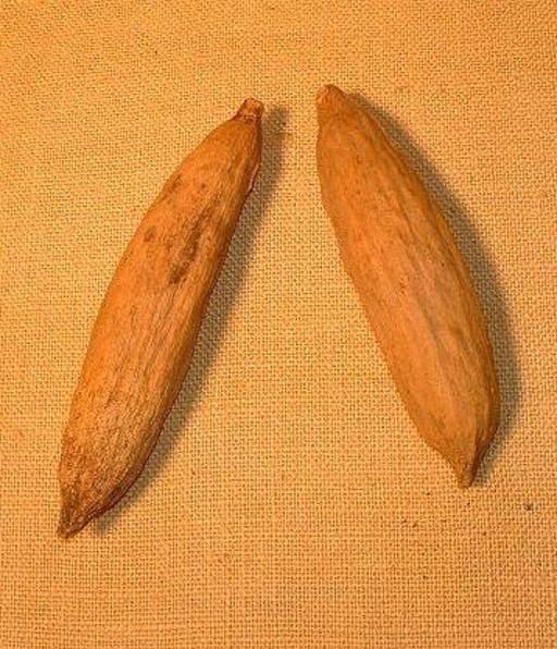 Cabosses de cacao sèches