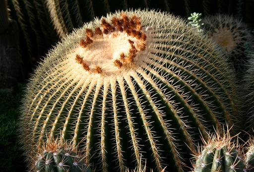 Cactus coussin de belle-mère