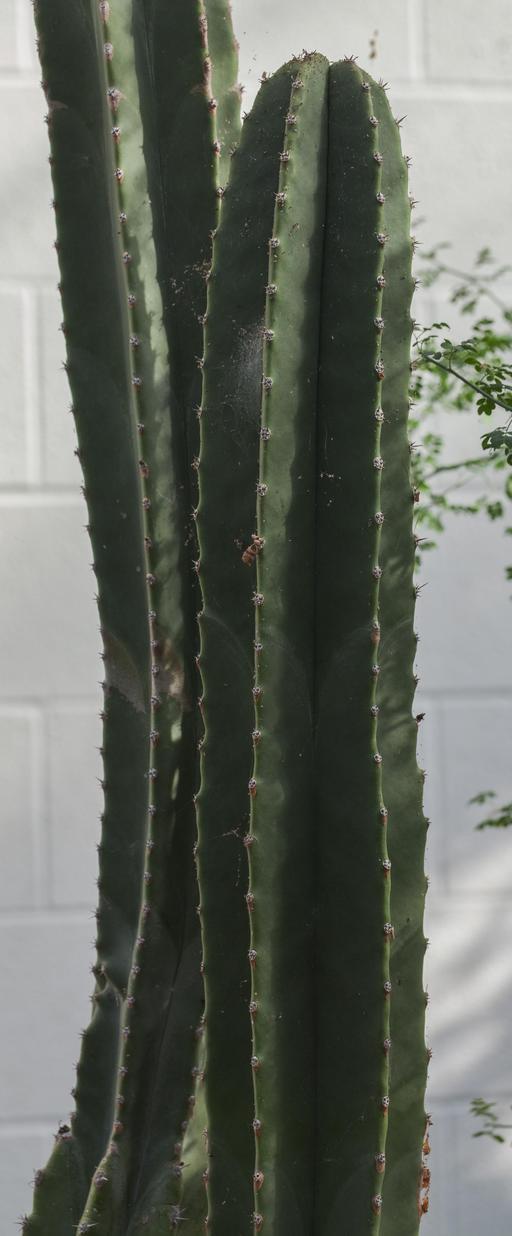 Cactus totem dans un Conservatoire Botanique