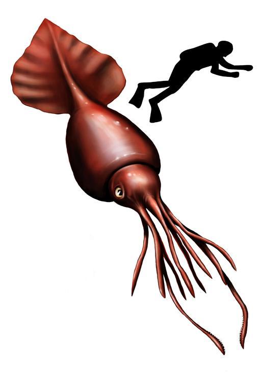 Calamar colossal à échelle humaine