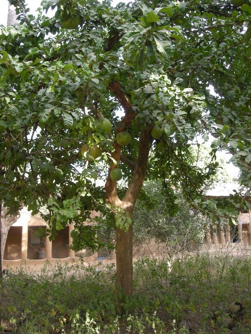 Calebassier au Sénégal
