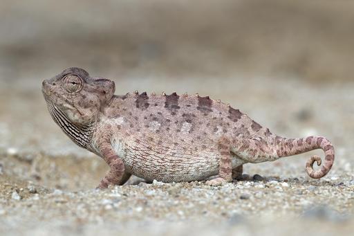 Caméléon de Namibie
