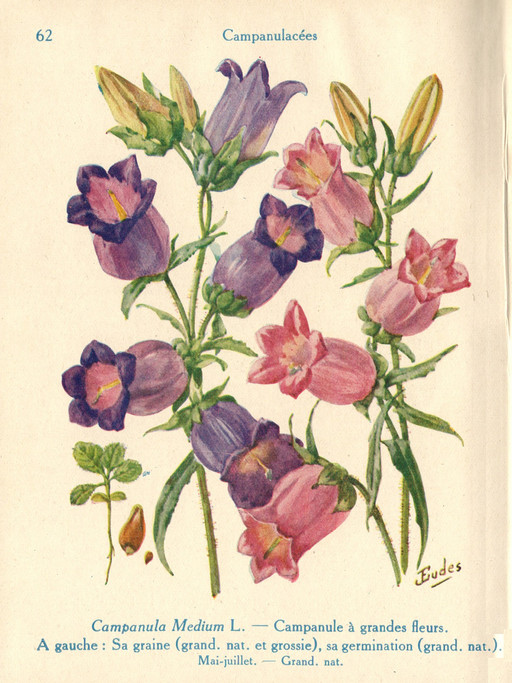Campanules à grandes fleurs