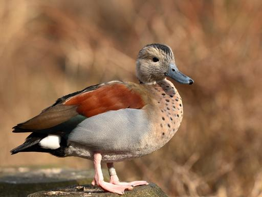 Canard à collier noir mâle